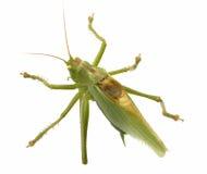 Locust isolated Stock Photos