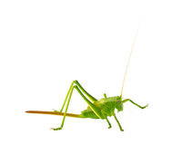 Locust isolated on white Stock Photo
