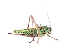 Locust isolated on white background Stock Photos