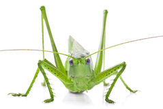 Locust isolated on white background Royalty Free Stock Photo