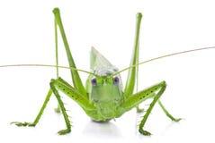 Locust isolated on white background Royalty Free Stock Photo