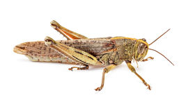 Locust isolated on white Royalty Free Stock Photography