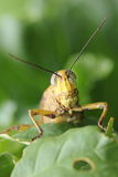 Locust on a leaf (closeup) Stock Images
