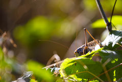 Locust with long moustaches sits on sheet Royalty Free Stock Photo