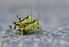 Locust love Royalty Free Stock Photo