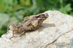 Locust molting Stock Image