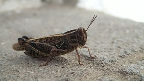 Locust moving out of the frame. A brown locust moving out of the frame after waiting stock footage