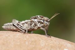 Locust nymph Stock Photography