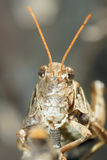 Locust nymph Royalty Free Stock Image
