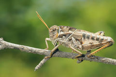 Locust nymph Royalty Free Stock Photos