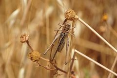 Free Locust On Autumn Meadow Close-up Royalty Free Stock Photography - 19820017