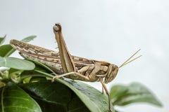 Locust pest Royalty Free Stock Photography