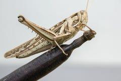 Locust pest Stock Photo