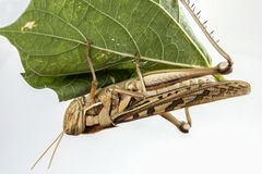Locust pest Royalty Free Stock Images