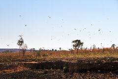 Locust pest. A lot of locusts in the air in Isalo Madagascar. Locust are a yearly pest in many countries Royalty Free Stock Photography