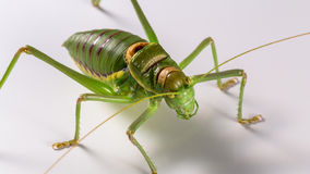 Locust Royalty Free Stock Photos
