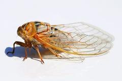 Locust profile