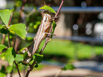 Locust protects from the sun Stock Photography