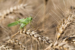 Locust on ripe wheat. Wheat field. Agricultural land with cereal crops Royalty Free Stock Photo