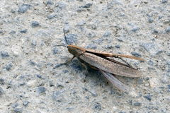 Locust on the road Royalty Free Stock Image