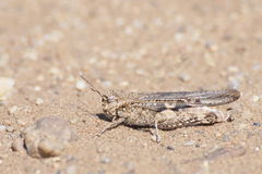 Locust on sand Stock Photography