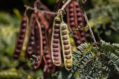 Locust seed pods Stock Photography