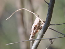 Locust shell disguised leaf. Dry leaf clings to tree branches like an insect shell Royalty Free Stock Images