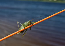 Locust sitting on a fishing rod. Locust sitting on the rod during the summer fishing Stock Photos