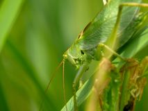 Locust sitting on leave. A grasshopper. Royalty Free Stock Images