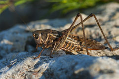 Locust is sitting on rock Royalty Free Stock Photos
