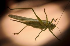 Locust sitting on a window stock photo