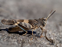 Locust. A Locust on a stone Stock Images