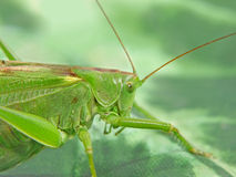 Locust taken closeup. Royalty Free Stock Image
