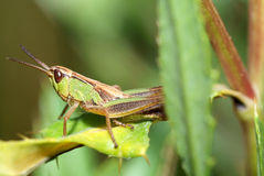 Locust to leaf. Royalty Free Stock Photography