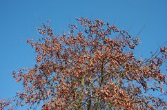 Locust tree stock photos