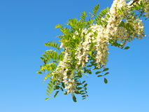 Locust tree blossom Stock Images