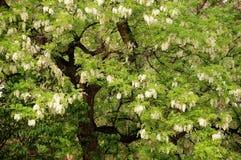 Locust tree, flowers blooming in spring. White locust tree flowers blooming in spring stock images