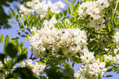 Locust tree flowers and leaves with bees Stock Photography