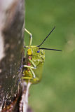 Locust on tree trunk Stock Photography