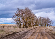 Locust Trees Along a Country Road Royalty Free Stock Images