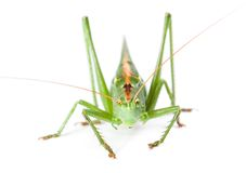 Locust on white Royalty Free Stock Photography