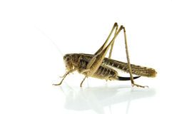 Locust on white background Royalty Free Stock Images