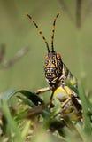 Locusta Fotografie Stock Libere da Diritti