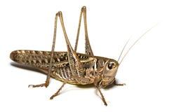 Locusta Immagini Stock Libere da Diritti