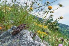 Locusta ad un prato con i fiori selvaggi Immagine Stock