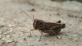 Locusta che muove la sua bocca stock footage