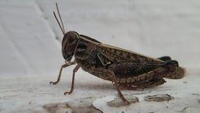 Locusta che si muove dall'immagine stock footage