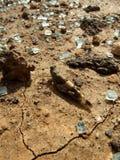 Locusta del deserto Immagine Stock