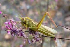 Locusta della cavalletta & x28; Bombay Locust& x29; sulla foglia verde il corpo è yel Immagini Stock Libere da Diritti
