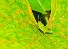 Locusta di Bombay Fotografia Stock